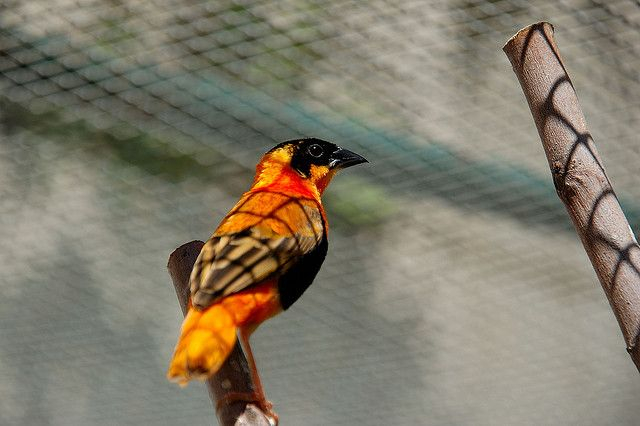 Orange weaver 2