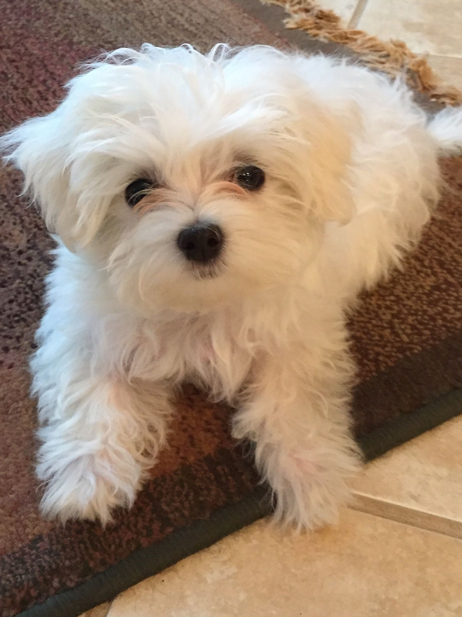 My Cute Baby Maltese Dogs Teacup Puppies Maltese Maltese Puppy