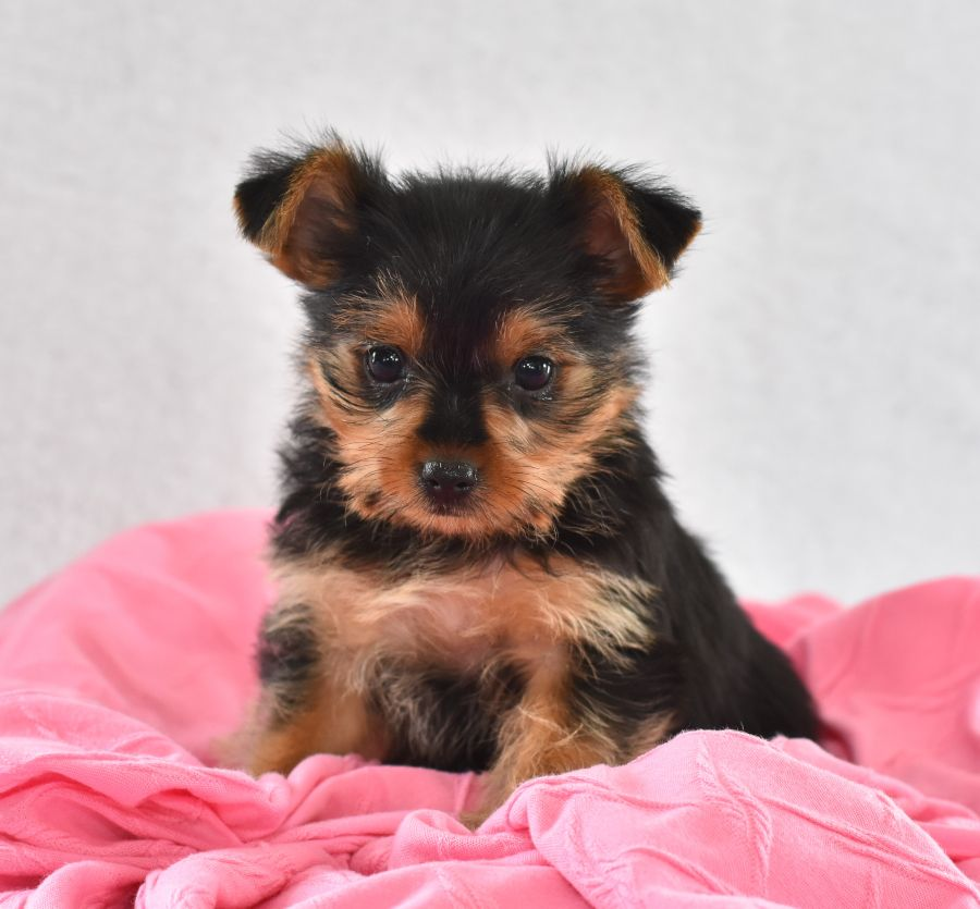 Pin By Kimberly Robinson On Yorkie Chihuahua Mix In 2020 Yorkie Puppy For Sale Yorkshire Terrier Puppies Yorkie Chihuahua Mix