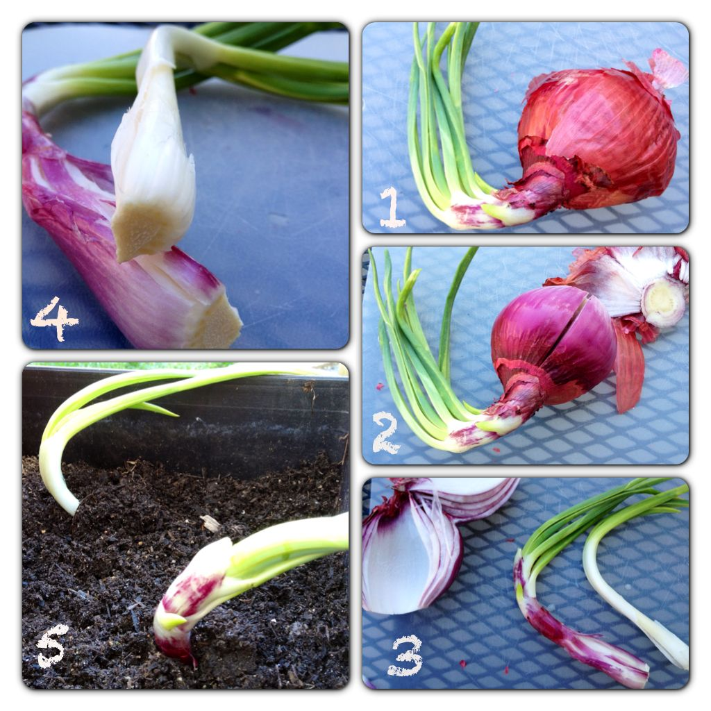 Interior designs medium size vertically growing onions growing onions - Red Onions How To Regrow Red Onions And Plant Onion Sets