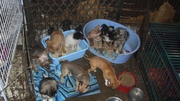 Rspca Nsw Remove 98 Dogs And Puppies From Breeder Near Goulburn Nsw Rspca Nsw Can Confirm That Inspectors And A Veterinarian Pet Shop Dogs And Puppies Cat S