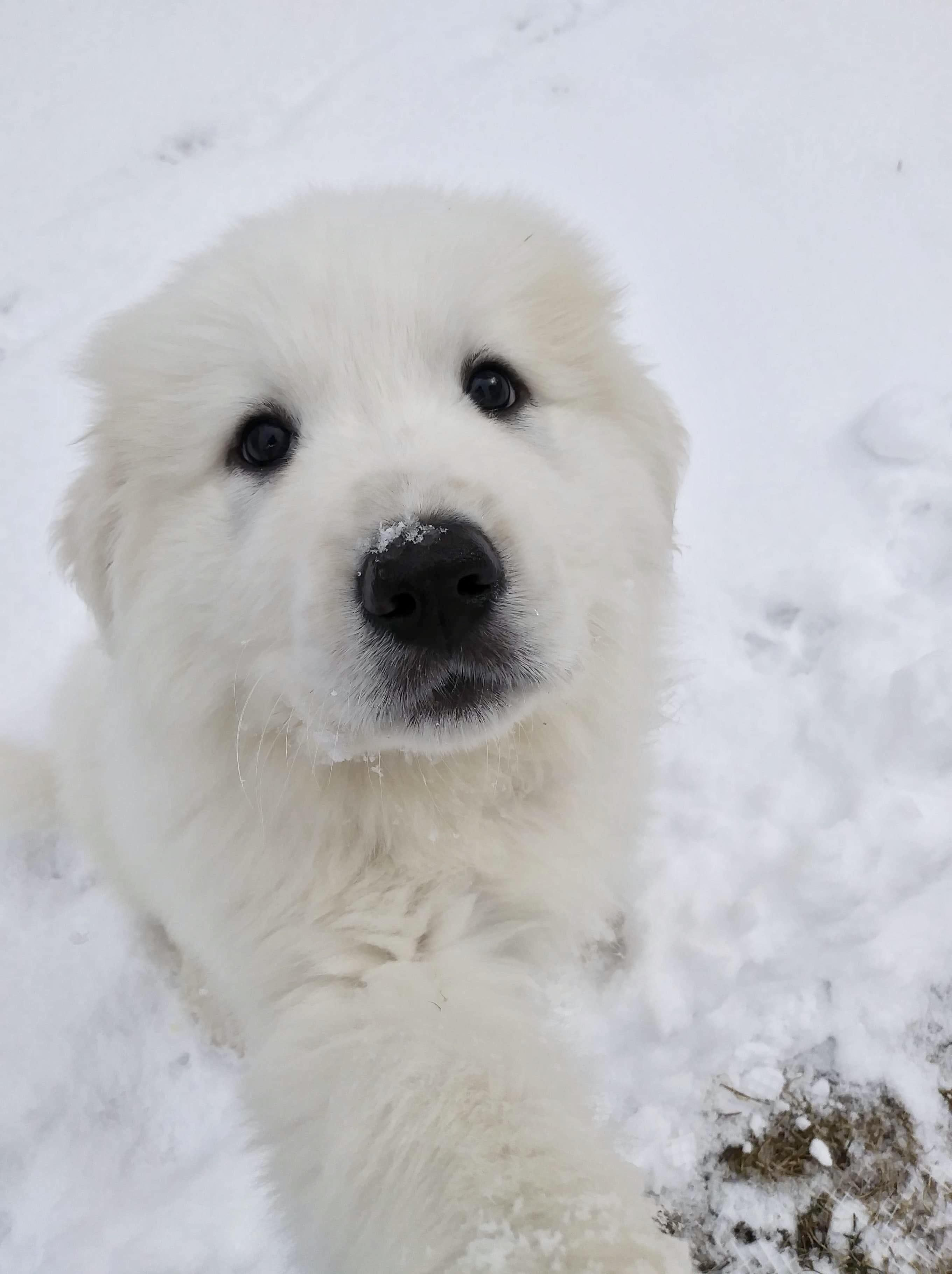 Pin By Sevienglacelle On Pets Great Pyrenees Puppy Great