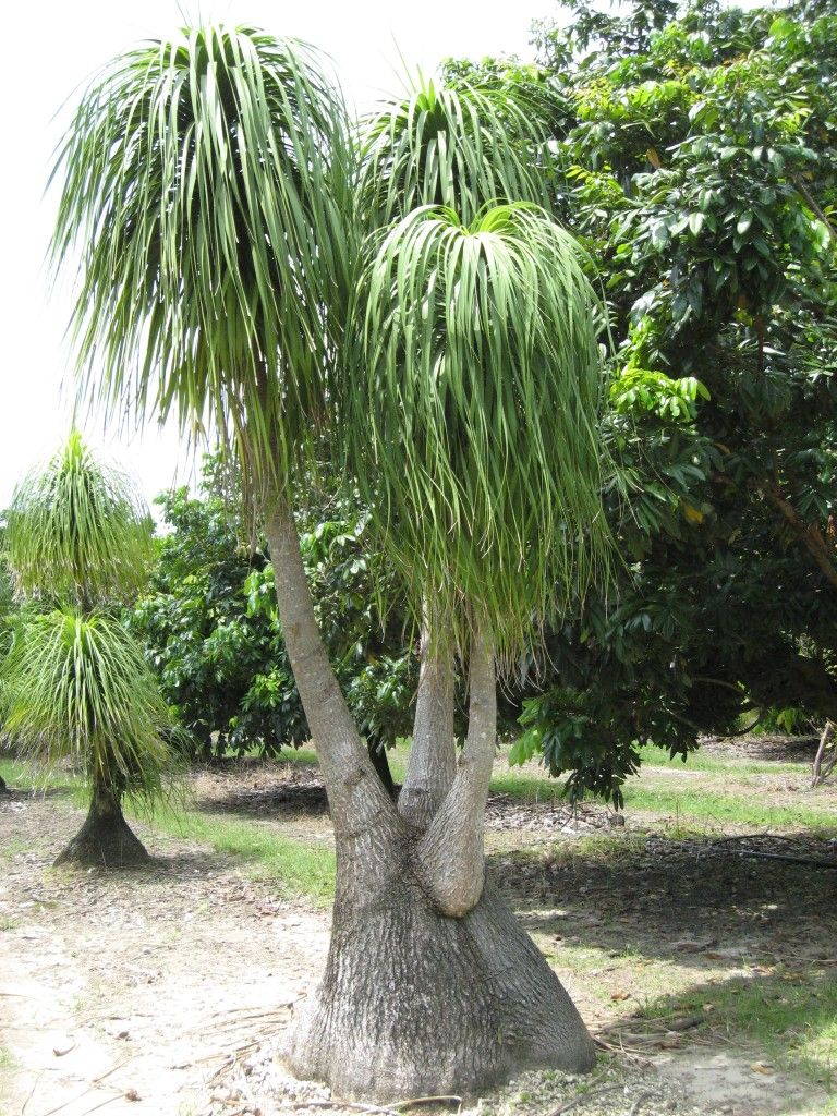 Beaucarnea recurvata (Ponytail Palm) There are a few types of ponytail palms,  i