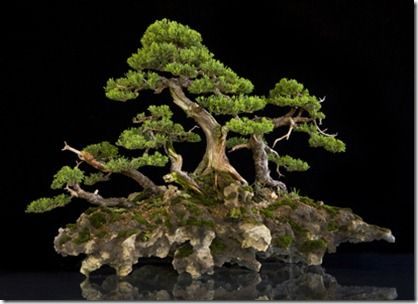 Junipero San Jose Juniper Bonsai Bonsai Bonsai Tree