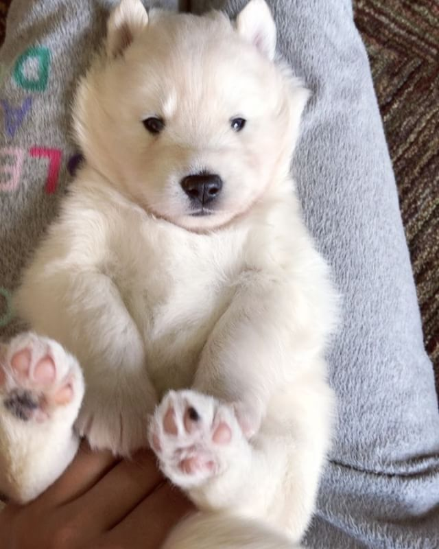 Likes Comments Siberian HUSKY For Sale Mywinterfells - 29 adorable animals that will put a smile on your face