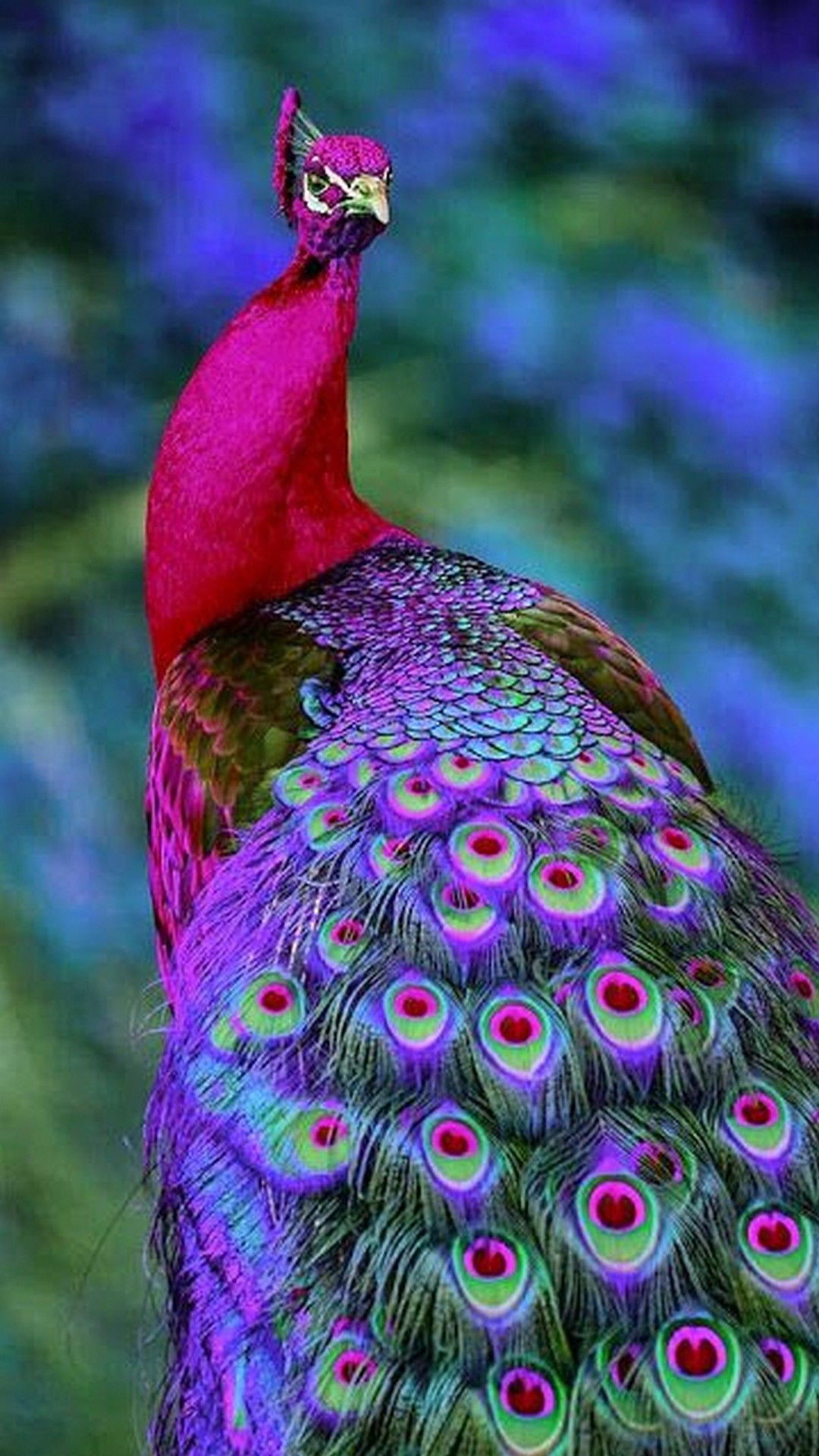 Colorful Peacock Wallpaper Iphone Iphonewallpapers Pinterest