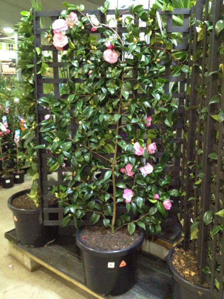 Betty Ridley Camellia Trained As An Espalier Against A