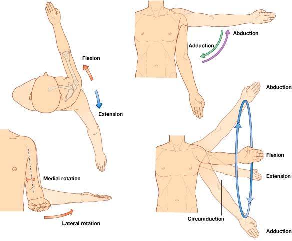 Shoulder Movements Anatomy Google Search Rawatan Alternatif