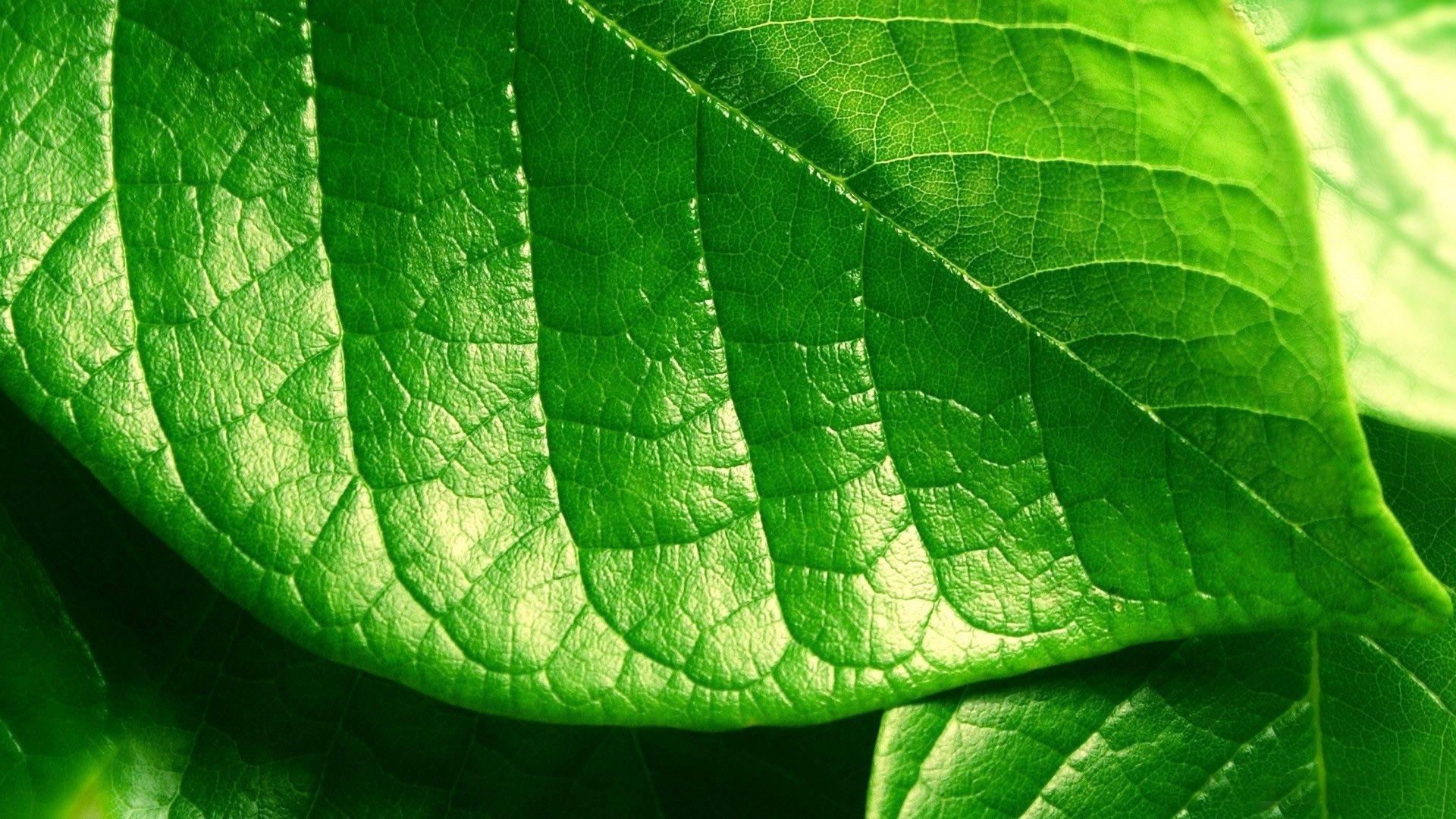 Green Leaf Wallpaper WallpaperSafari sisay Pinterest