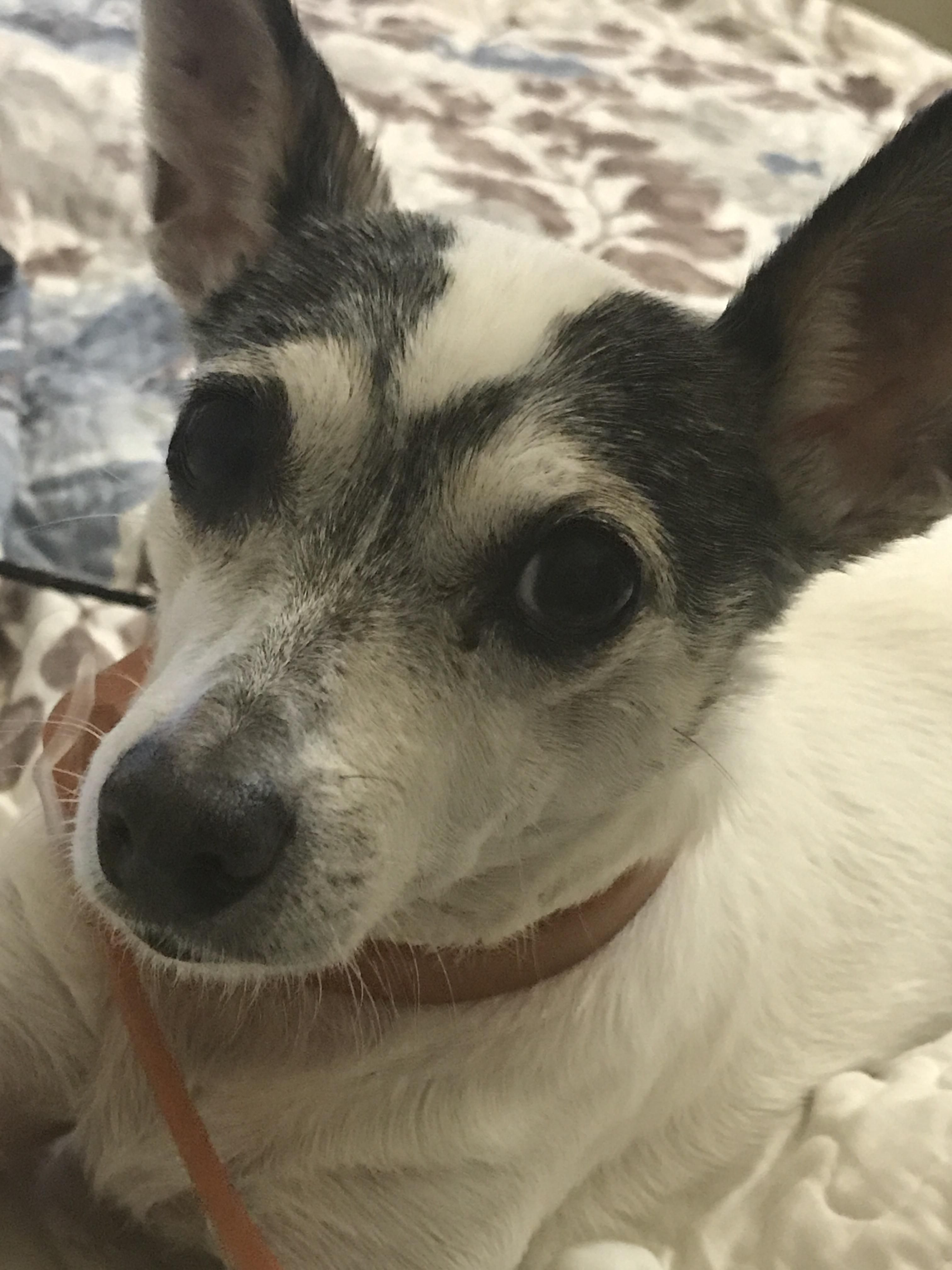 Hey raww meet pepper shes a 12 year old toy fox terrier