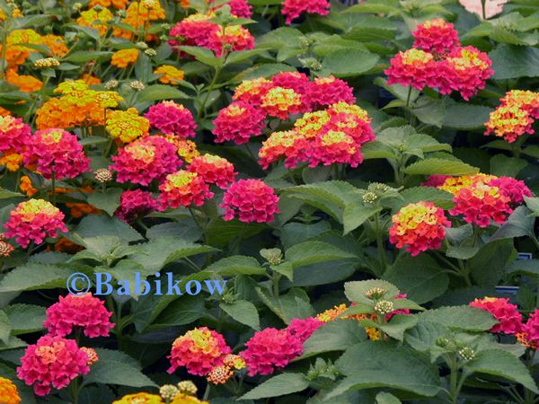Browse Results From Babikow Lantana Lantana Flower Front Yard Plants