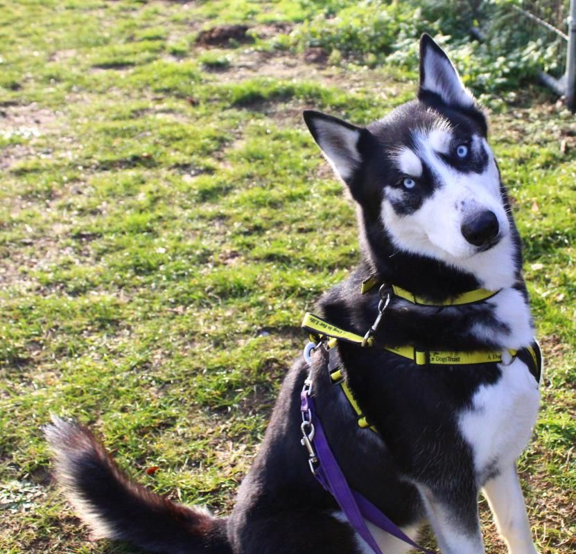 Adopt A Dog Pip Siberian Husky Dogs Trust Rehoming Dogs Rehome Dog