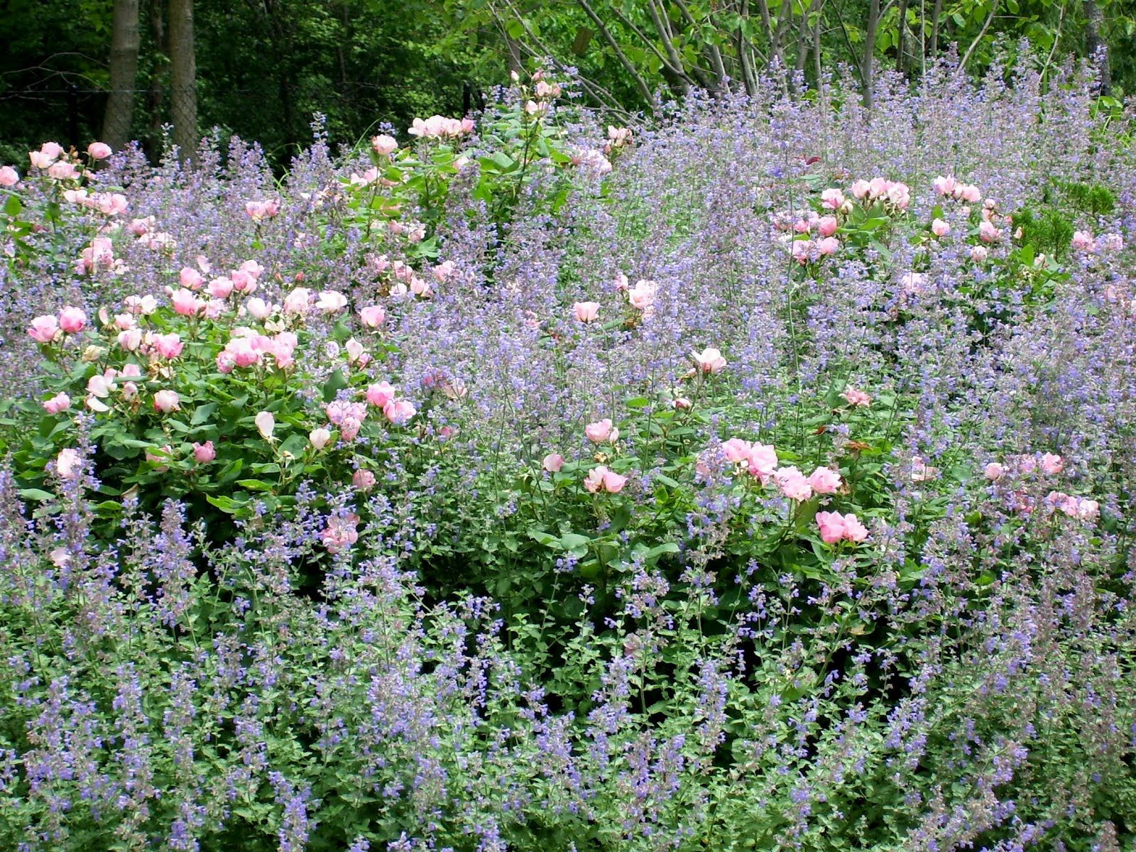8d6bb1ff324ae6b051bf76eb8574e201 - Pictures Of Rose Gardens With Companion Plants