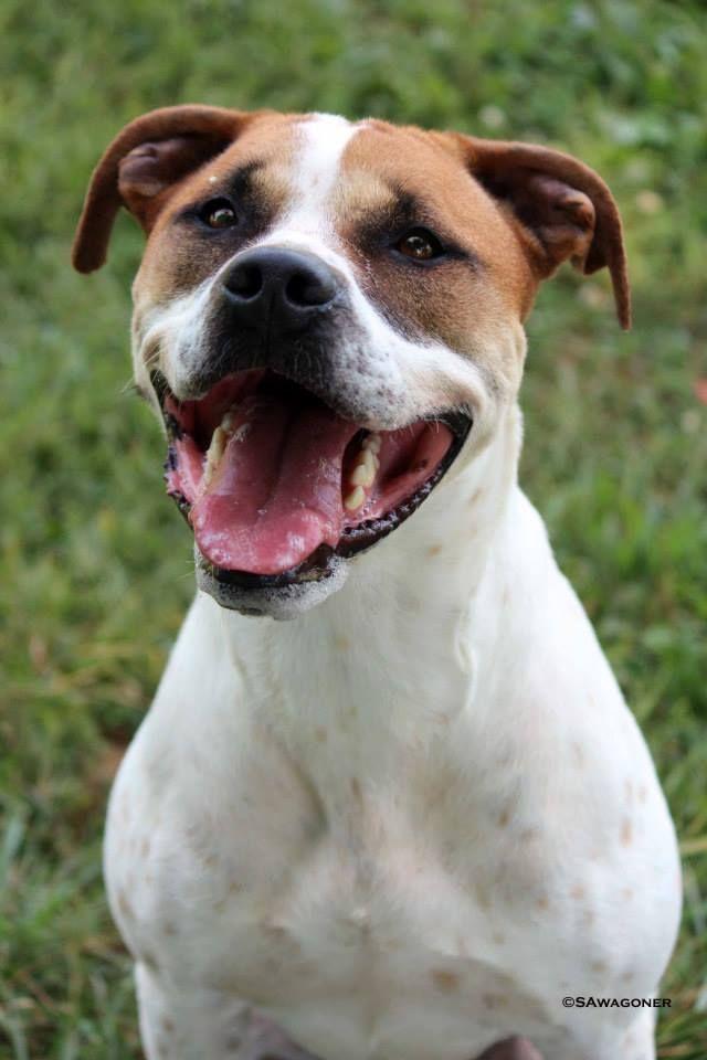 Meet Woody a Petfinder adoptable Boxer Dog Front Royal