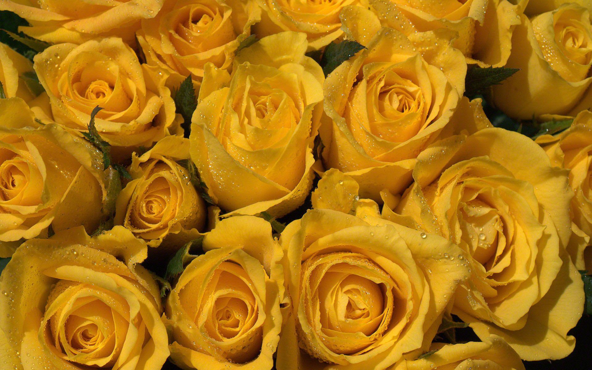 Rosas Amarillas Fondos De Pantalla Gratis Flores Rosas Amarillas