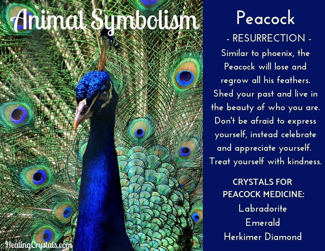 A peacock is one which lives in the promise of all she