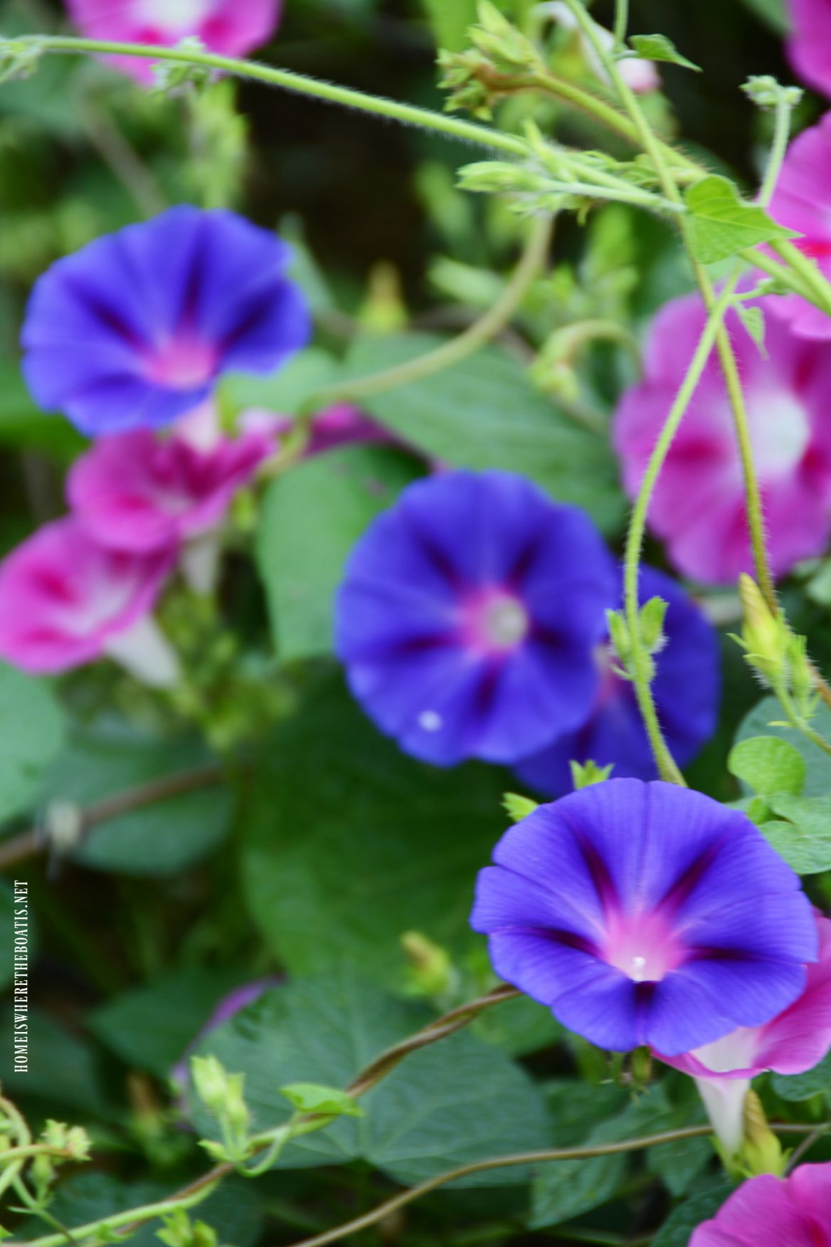 Life Lessons From Morning Glory In A Cornfield Morning Glory Morning Glory Vine Flowers