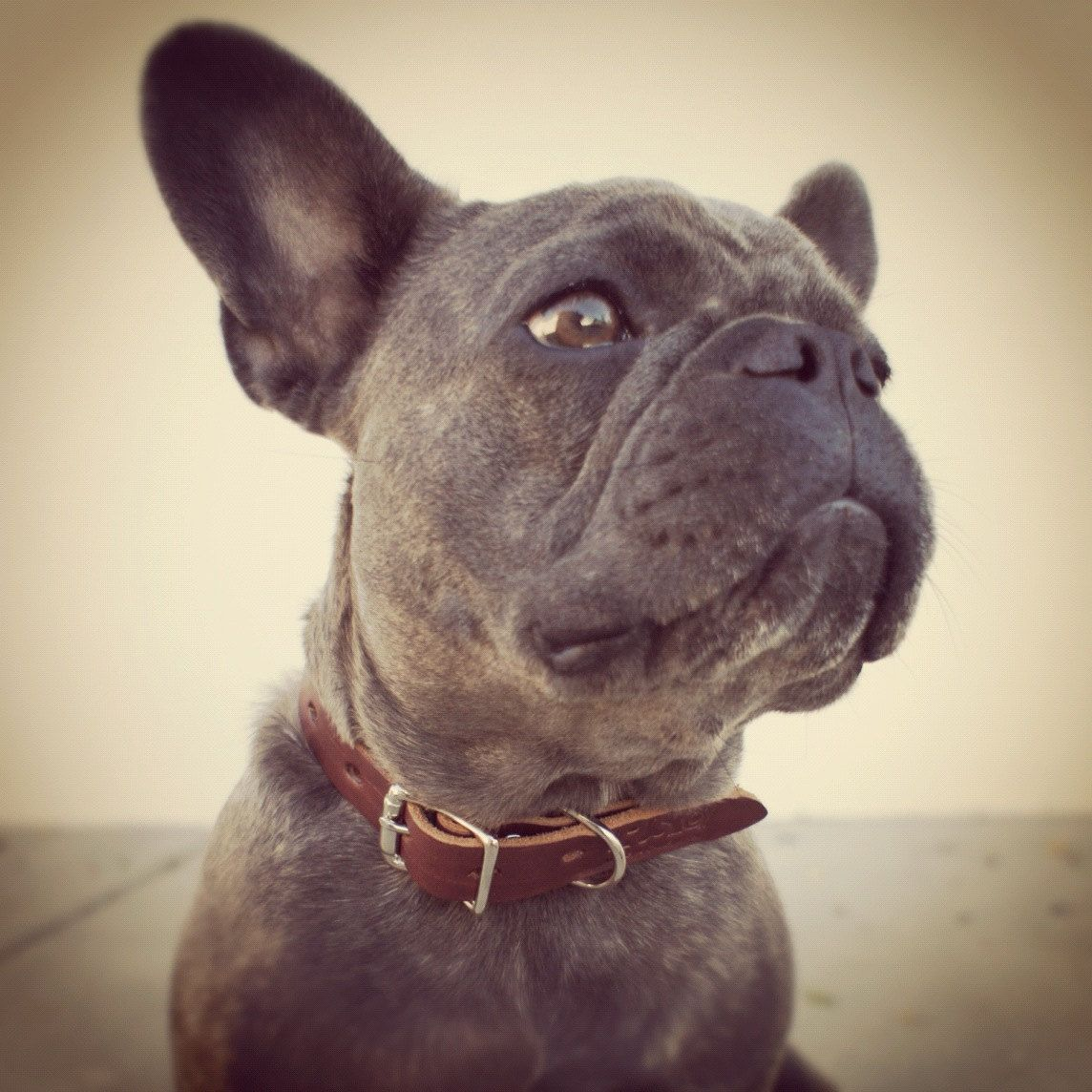 Our Mascot Blue French Bulldog Hayes Reesupplyco In Leather Dog
