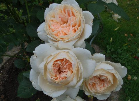 gesund und robust wachsende Strauchrose Glyndebourn im Rosenparadies Loccum