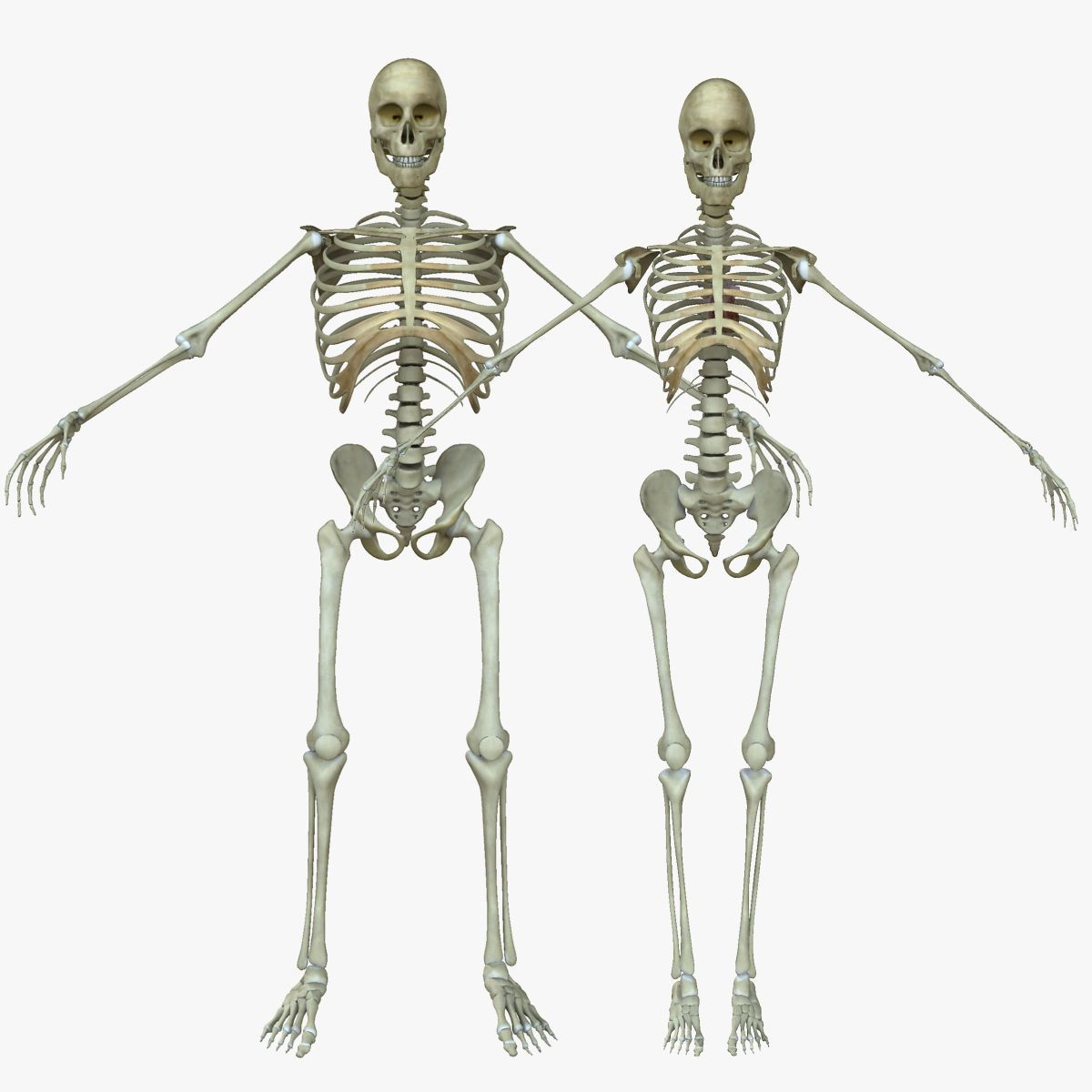 male vs female skeleton anatomy reference female