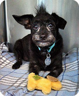 Huntsville Al Wirehaired Fox Terrier Miniature Schnauzer Mix