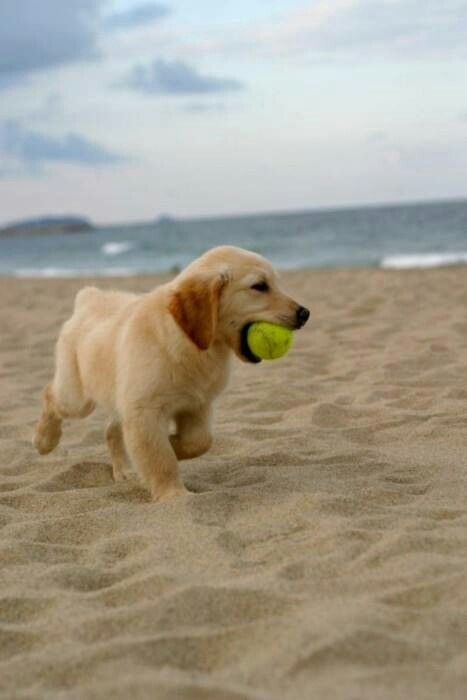 Even Puppies Love A Romp At The Beach Retriever Puppy Puppies