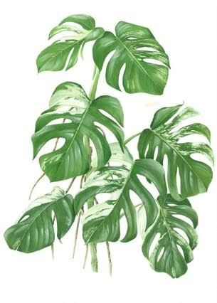 monstera botanische posters pinterest peinture dessin acryliques et motifs. Black Bedroom Furniture Sets. Home Design Ideas