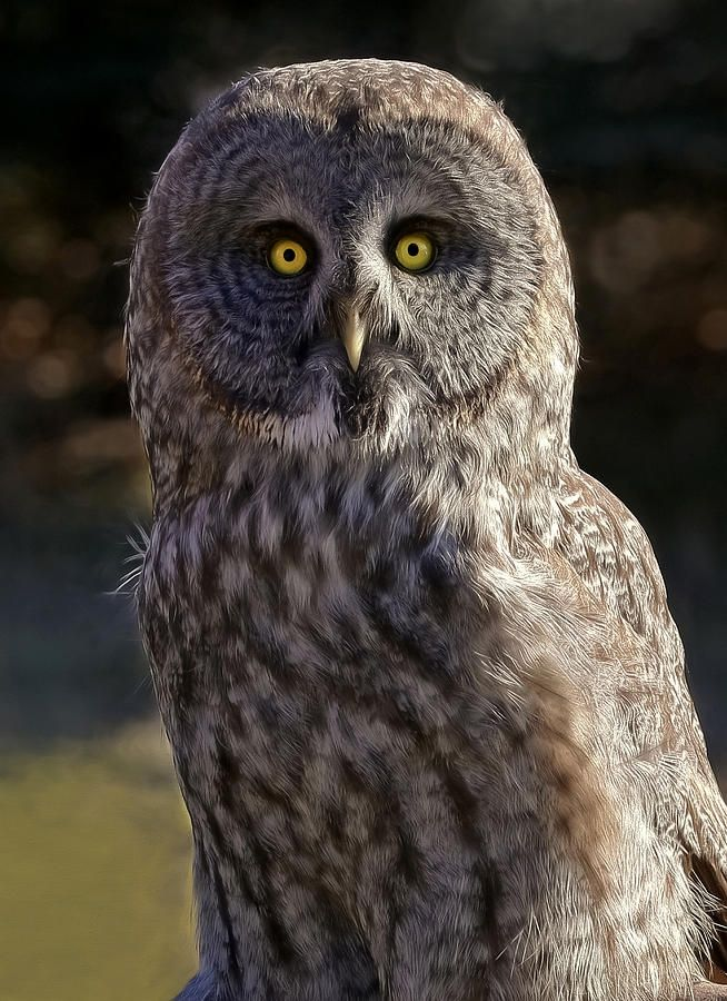 Pin by Dotty Weber on WesDotPhotography Great grey owl