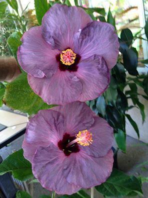 Lilac Wine Hibiscus Plant Hibiscus Flowers Hibiscus
