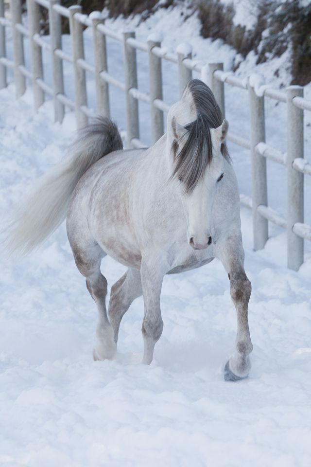 Dapple gray horse in the snow - Julia Moll » Pferde in Bewegung