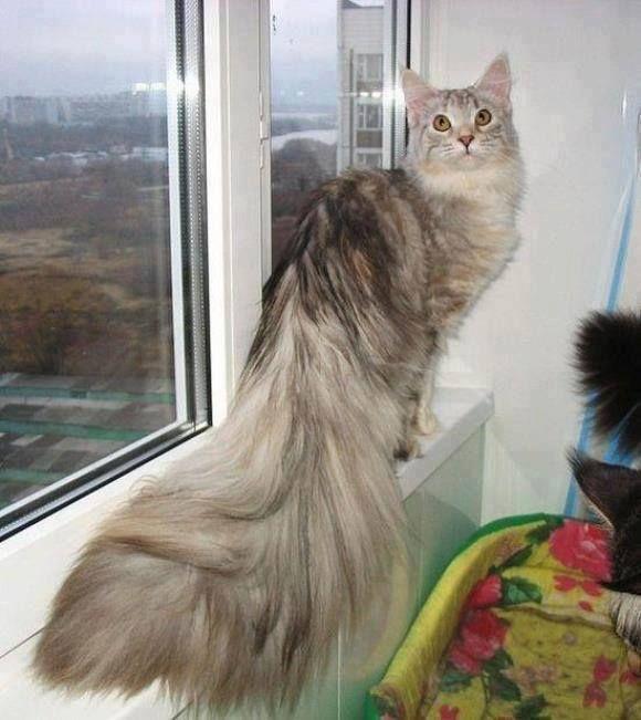 Miane coon cat..