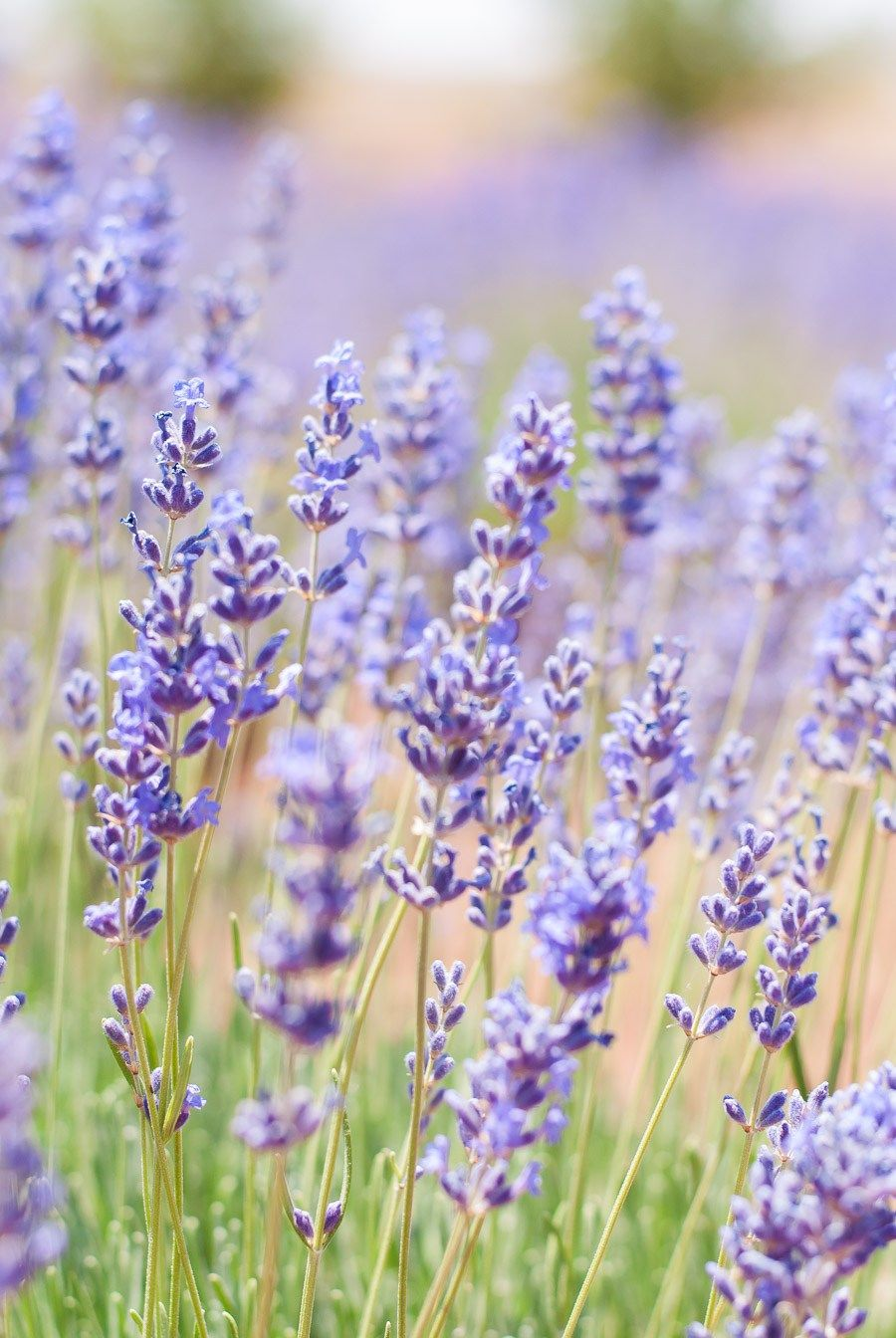 Guide Culinary Lavender Culinary Lavender Lavender Plant Edible Lavender