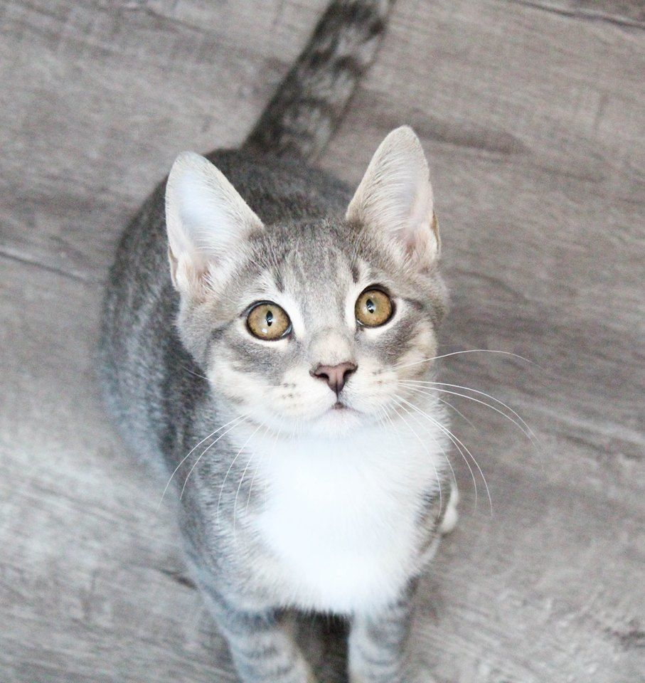 Adopt Indigo Sweet And Social On Petfinder Russian Blue