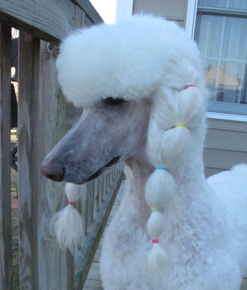 Summer Clip With Braids Poodle Hair Poodle Dog Poodle Puppy