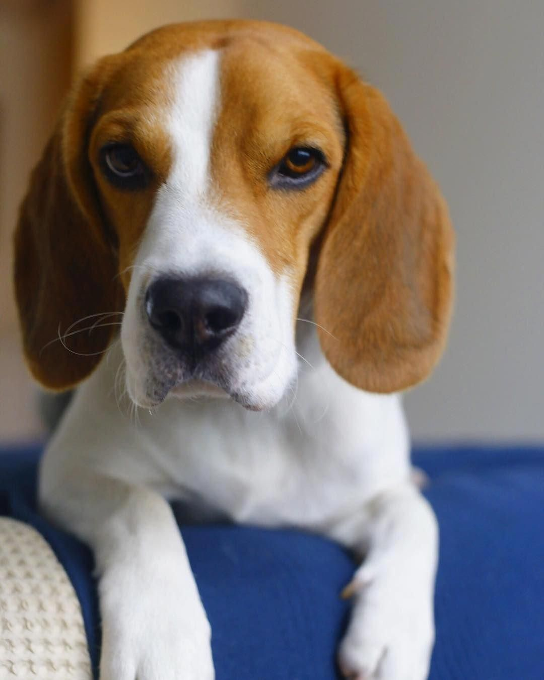 Find Out More On The Friendly Beagle Dogs Personality