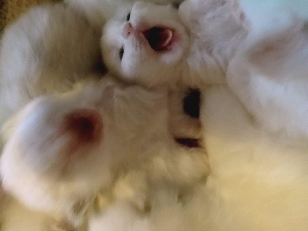 Picture Kittens Kitten For Sale Animals