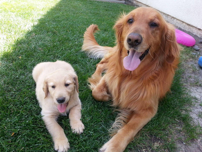 Golden Retriever Puppies For Sale In Sacramento Ca