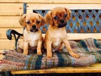chug or pugalier - Dogs and Puppies, Rehome Buy and Sell ...