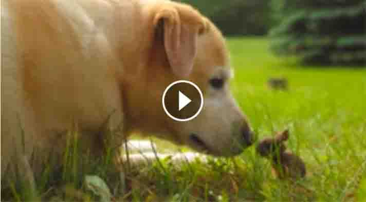 """Now hare's a cute clip with a sweet backstory. In thevideoabove, Meg, an 11-year-old yellow Lab plays with a baby bunny that Meg's human, David Jackson, named Little John Stamos. Meg and Little John Stamos bump noses and play around in Jackson's yard on Lake Clear in the Ottawa Valley, Canada, together. The visuals are enough to warm anyone's heart, but the reason why Meg is watching the bunny will make it melt. """"I heard cries coming from the yard …"""