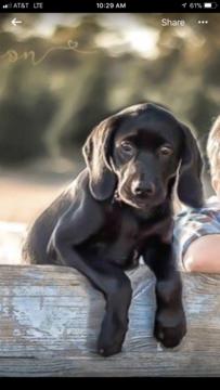 Litter Of 7 Goldmaraner Puppies For Sale In Valdosta Ga Adn 54915 On Puppyfinder Com Gender Male S And Female S Age 3 Puppies For Sale Puppies Valdosta