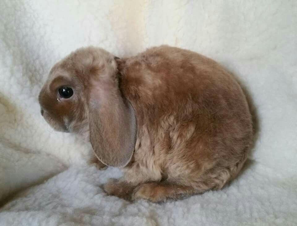 Image result for tort lionhead lop Mini lop rabbit, Pets