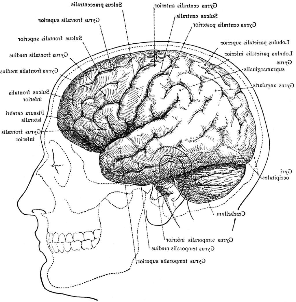 Diagram brain anatomy