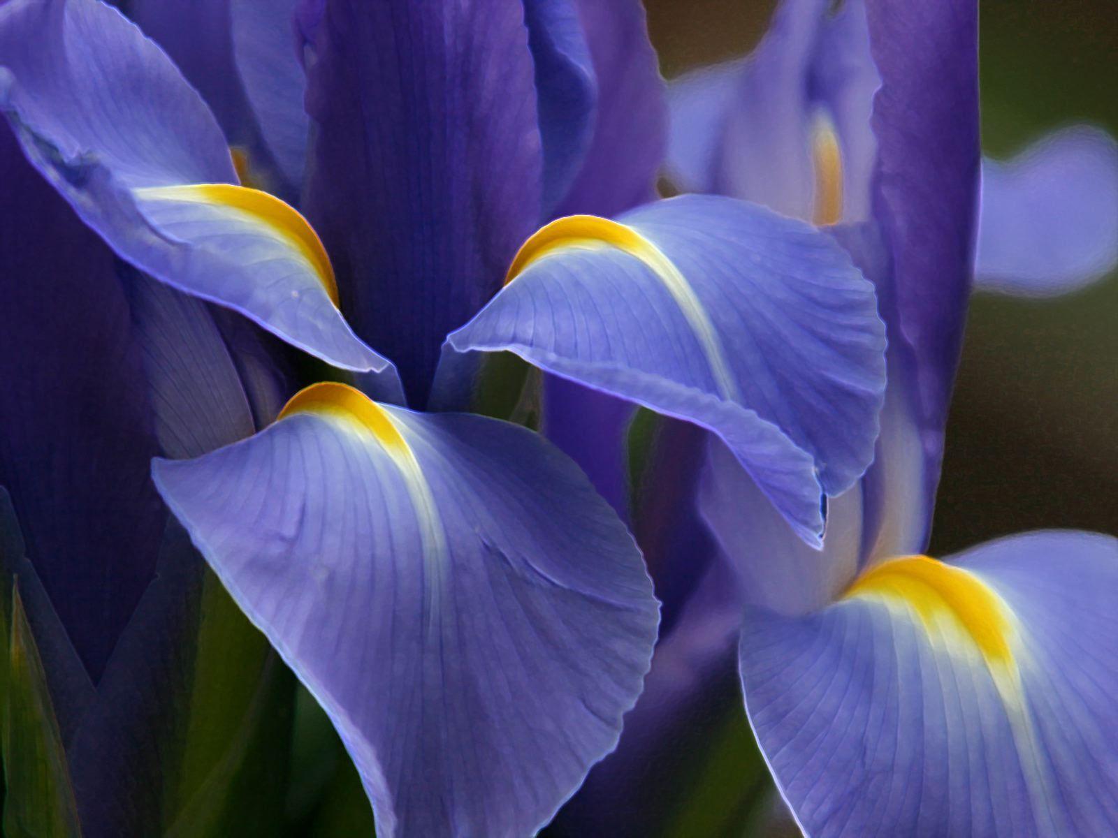 Lovely iris garden color pinterest iris flowers and nice flower lovely iris izmirmasajfo
