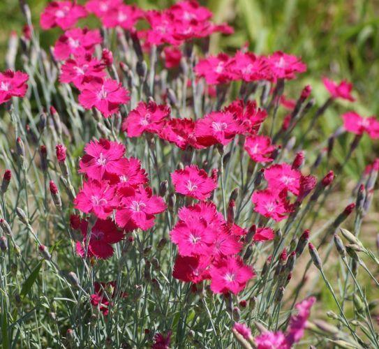 Gozdzik Siny Czerwony Dianthus Gratianopolitanus Beautiful Flower Drawings Flower Drawing Dianthus Gratianopolitanus