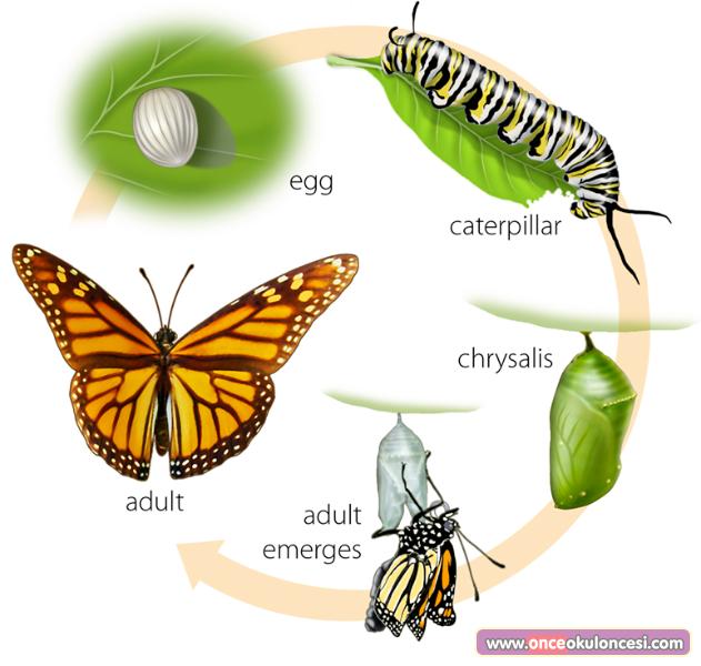 Kelebeğin Oluşum Aşamaları Fen Ve Doğa Etkinlikleri Science And