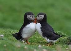 puffin - Yahoo Image Search results