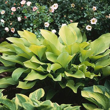 A Gardeners Guide To Hostas Soil Plants Garden Hosta