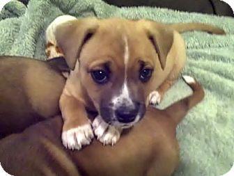 Australian Shepherd Boxer Mix Puppies ADOPTED
