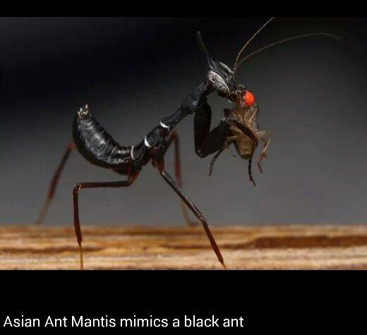 A Black Praying Mantis Praying Mantis Cool Insects Bugs And