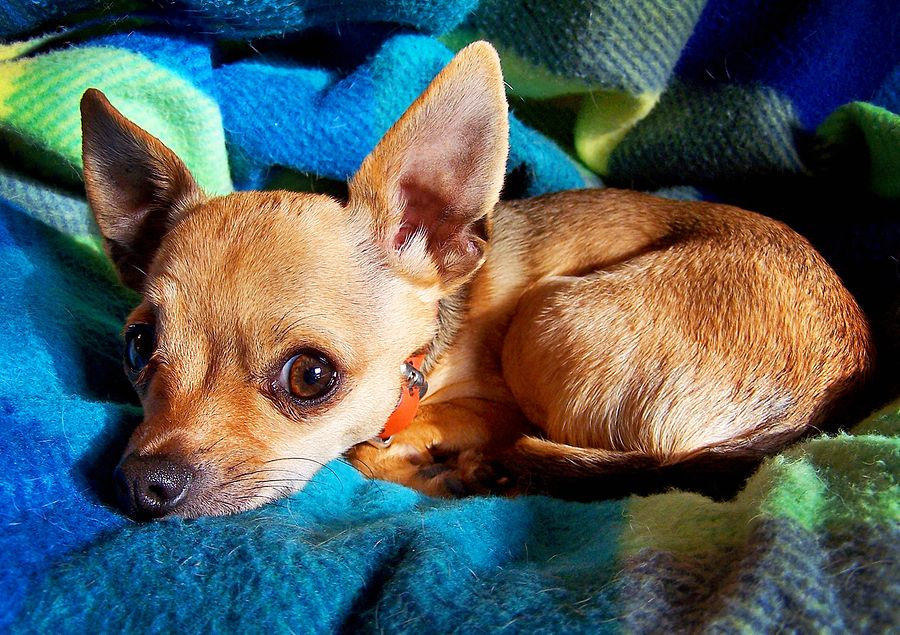 Hilarious Stages Of Housebreaking Chihuahuas Click The Photo To